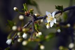 Prvý jarný kvet na strome