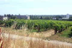 Vinohrady v lete